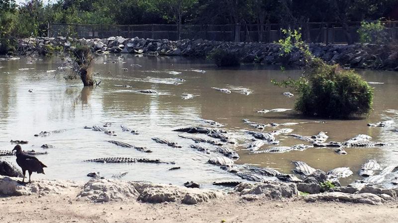 Everglades Alligator Farm Florida Miami - Alligator